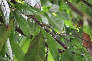Grand'Anse, Haiti, cacao tree (2014)