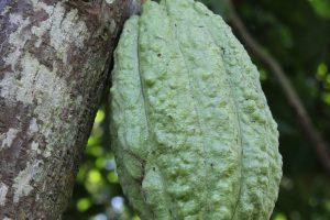 Grand'Anse, Haiti, cacao pod (2014)