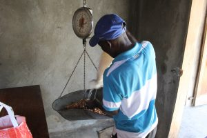 Grand'Anse, Haiti, pouring cacao beans onto scale (2014)