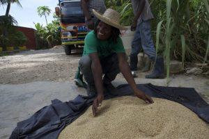 Admiring the sorghum harvest in Port-au-Prince