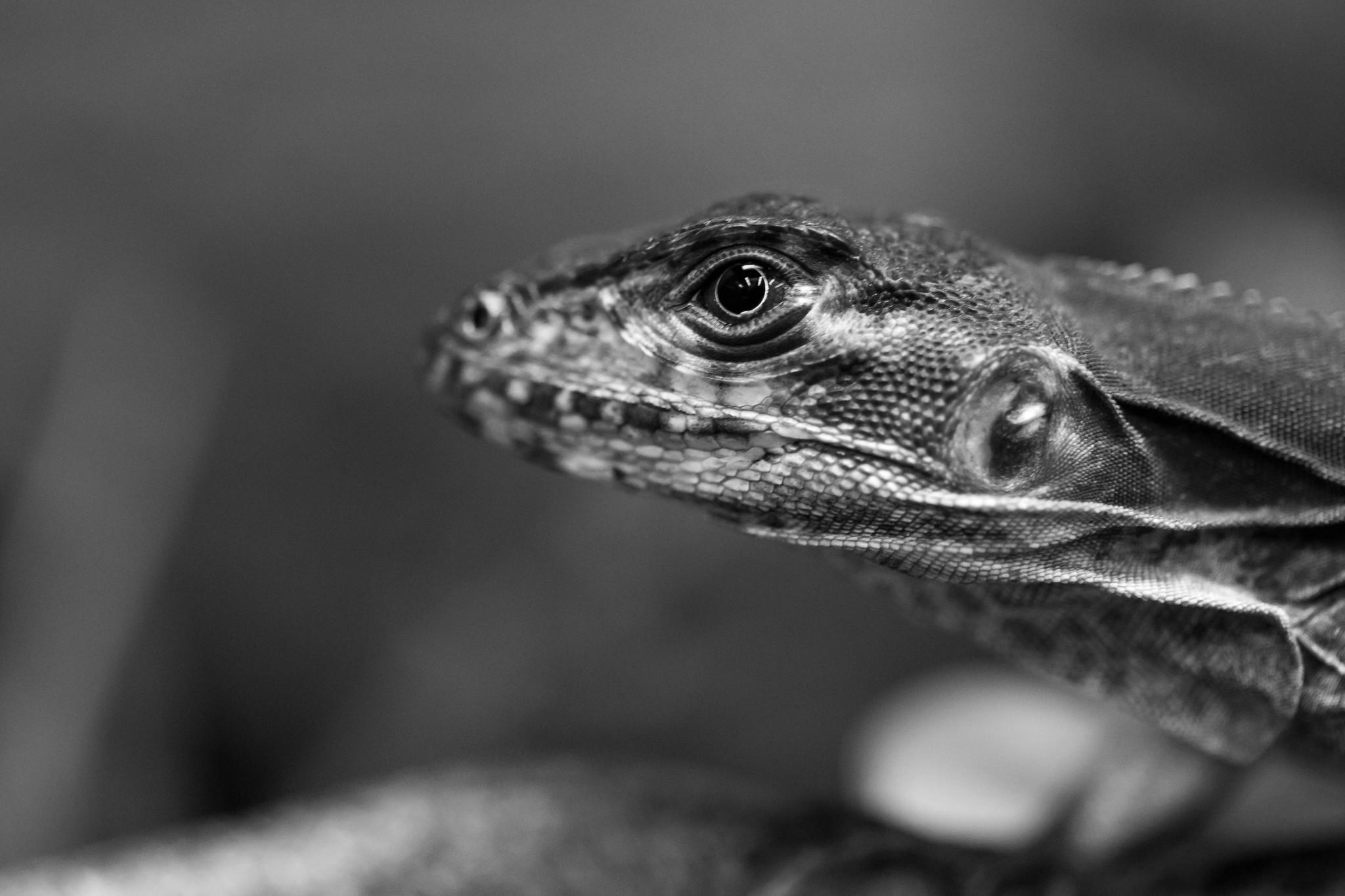 Haitian Lizard