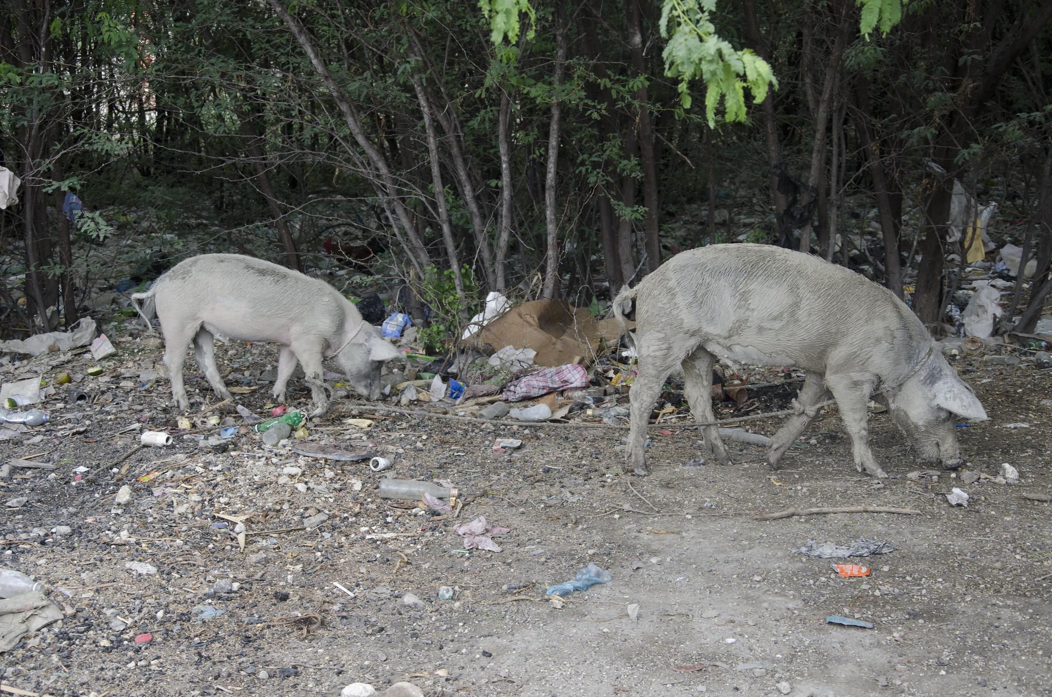 Haitian pig