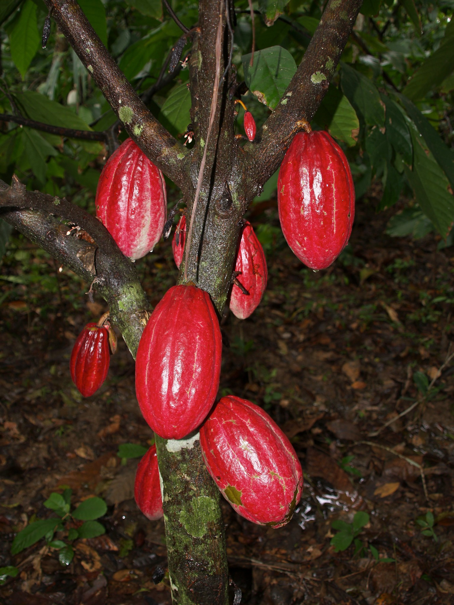 Read more about the article Cacao Pods