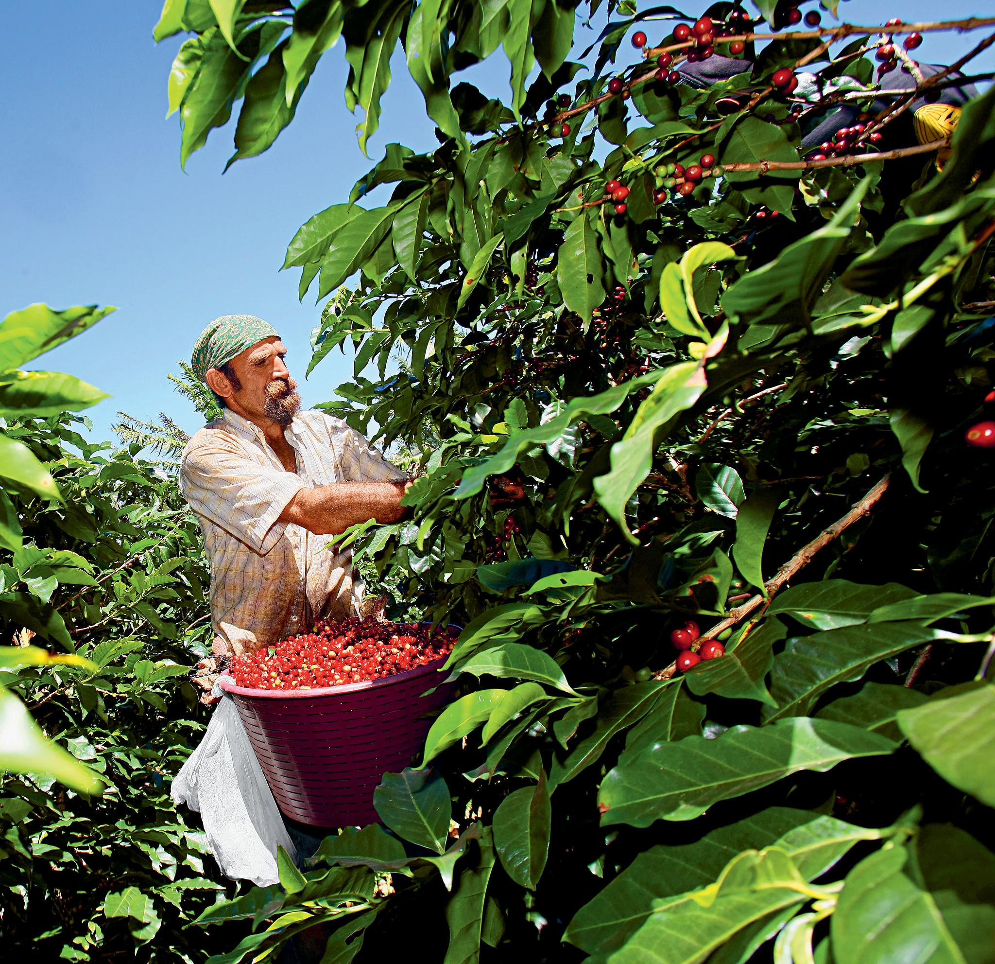 Coffee plantation harvest