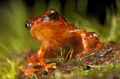 Hatian frogs