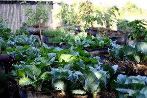 Haiti: tire gardens